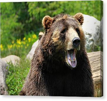 Brown Bear Awakening Canvas Print by Dan Sproul