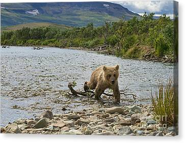 Brown Bear Cub Walking Up Stream Trying Keep Up With Mom Canvas Print by Dan Friend