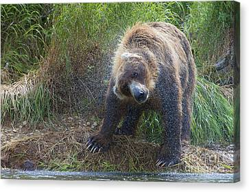 Brown Bear Shaking Water Off After An Unsucessful Salmon Dive Canvas Print by Dan Friend