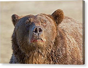 Brown Bear Sniffing Air Canvas Print by John Devries