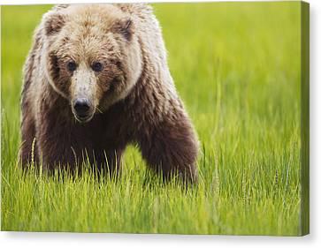 Brown Bear Up Close At Lake Clarke Canvas Print