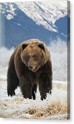 Brown Bear  Ursus Arctos  In The Frosty Canvas Print by Doug Lindstrand