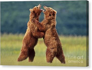 Brown Bears Sparring Canvas Print