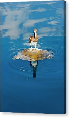 Brown Booby And Marine Turtle Canvas Print by Christopher Swann