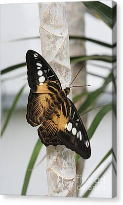 Brown Clipper Butterfly #2 Canvas Print by Judy Whitton