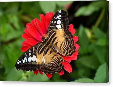Brown Clipper Butterfly On Red Zinnia Canvas Print by Eva Kaufman