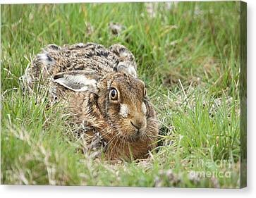 Brown Hare Canvas Print by Philip Pound