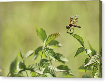 Brown Hawker Dragonfly Canvas Print by Jason Politte