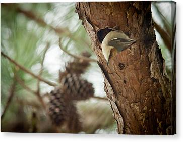 Brown Headed Nuthatch Canvas Print by Linda Unger
