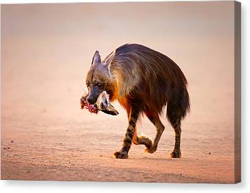 Brown Hyena With Bat-eared Fox In Jaws Canvas Print by Johan Swanepoel