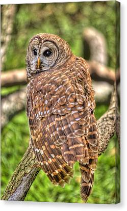 Brown Owl Canvas Print
