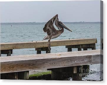 Brown Pelican 1 Canvas Print