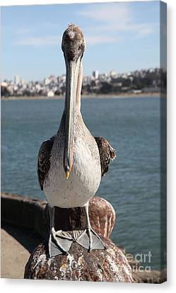 Brown Pelican At The Torpedo Wharf Fising Pier Overlooking The City Of San Francisco 5d21689 Canvas Print