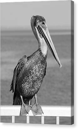 Brown Pelican Canvas Print by Christian Heeb