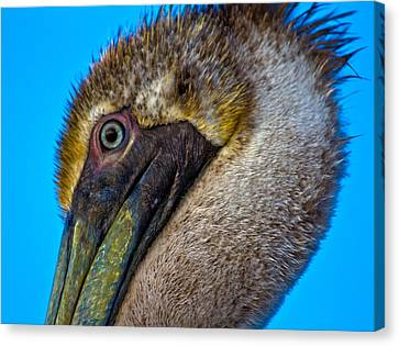 Brown Pelican Canvas Print by Betsy Knapp