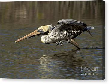 Canvas Print featuring the photograph Brown Pelican Fishing Photo by Meg Rousher