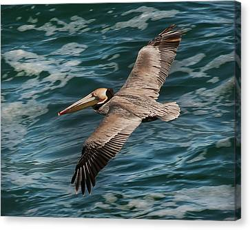 Canvas Print featuring the photograph Brown Pelican Flying 1 by Lee Kirchhevel
