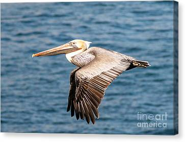 Brown Pelican Flying Canvas Print by Darleen Stry