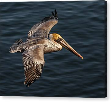 Canvas Print featuring the photograph Brown Pelican Flying by Lee Kirchhevel