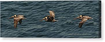 Canvas Print featuring the photograph Brown Pelican Flying Panorama by Lee Kirchhevel