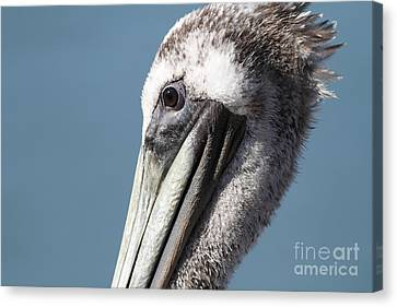 Brown Pelican In Profile 7d21771 Canvas Print