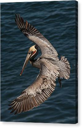 Canvas Print featuring the photograph Brown Pelican Landing 2 by Lee Kirchhevel