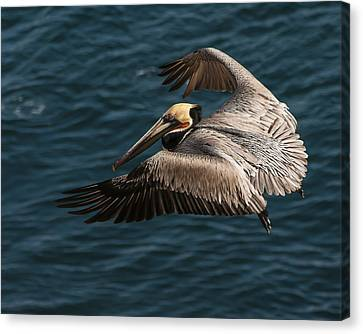 Canvas Print featuring the photograph Brown Pelican Landing by Lee Kirchhevel