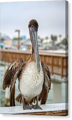 Brown Pelican On The Ft Myers Pier Canvas Print by Edward Fielding