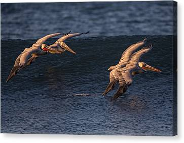 Canvas Print featuring the photograph Brown Pelican Pairs 73a2331 by David Orias