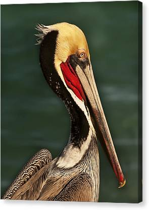 Canvas Print featuring the photograph Brown Pelican Portrait by Lee Kirchhevel