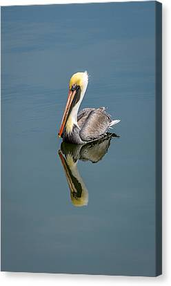 Brown Pelican Reflection Canvas Print