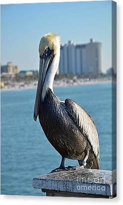 Canvas Print featuring the photograph Brown Pelican by Robert Meanor