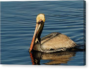 Brown Pelican Canvas Print by Stefan Carpenter
