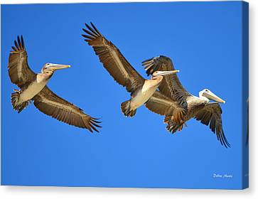 Canvas Print featuring the photograph Brown Pelicans In Flight by Debra Martz