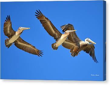 Brown Pelicans In Flight Canvas Print by Debra Martz