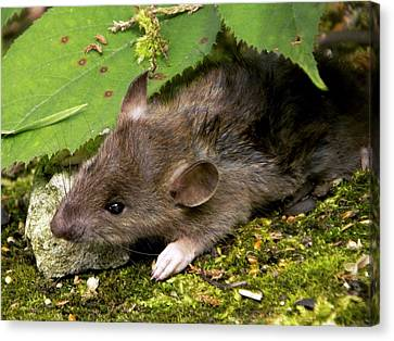 Brown Rat Canvas Print by Ian Gowland