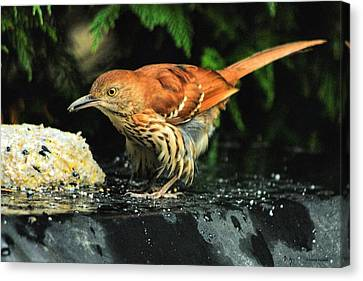 Brown Thrasher Canvas Print by Dennis Baswell