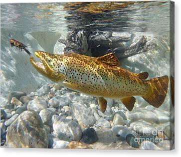 Brown Trout And Crawdad Canvas Print by Paul Buggia