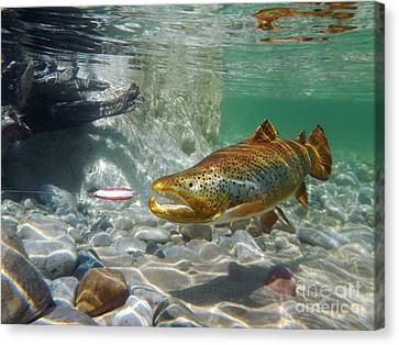 Brown Trout And Dardevle Canvas Print by Paul Buggia