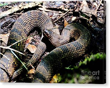 Canvas Print featuring the photograph Brown Water Snake by Kathy Baccari
