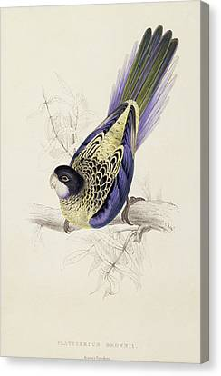 Parakeet Canvas Print - Browns Parakeet by Edward Lear