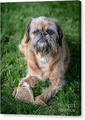 Brussels Griffon Canvas Print by Edward Fielding