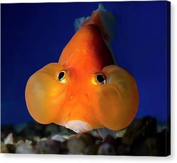 Bubble Eye Goldfish Canvas Print by Nigel Downer