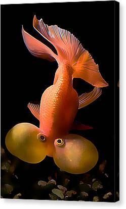 Bubble Eye Goldfish Canvas Print by Wernher Krutein