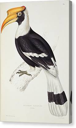 Hornbill Canvas Print - Great Hornbill by John Gould