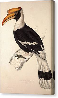 Buceros Cavatus,concave Hornbill. Birds From The Himalaya Canvas Print by Quint Lox