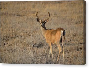 Buck 4 Canvas Print