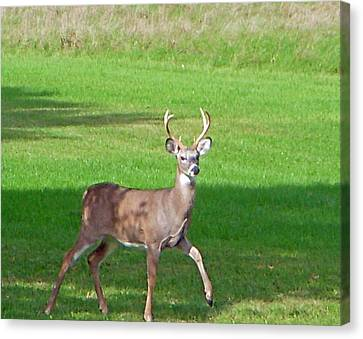 Buck Canvas Print by Aimee L Maher Photography and Art Visit ALMGallerydotcom