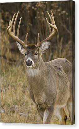 Buck Approaching Canvas Print by Larry Bohlin