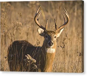 Buck In Field Canvas Print by Larry Bohlin